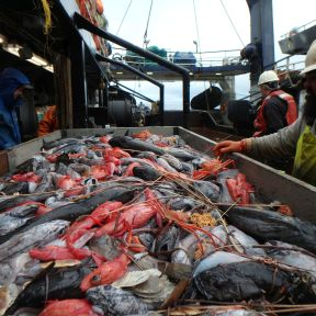 sablefish, shortspine thornyhead, giant grenadier, tanner crab, scallops, sea whips