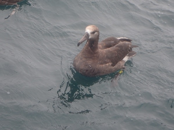 Albatross_photo by Matt Callahan.JPG