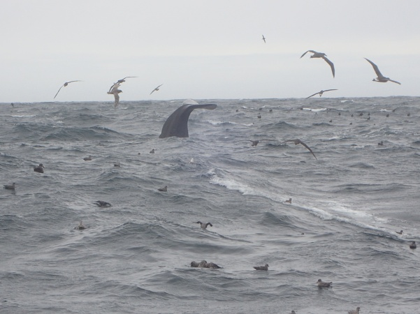Sperm whale_photo by Karson Coutre.JPG